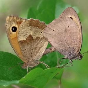 """Motýlia """" Kamasútra"""""""