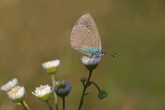 Modráčikovitá