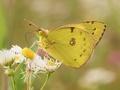 Žltáčik- Colias