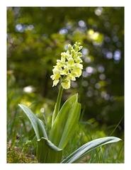 Naša orchidea