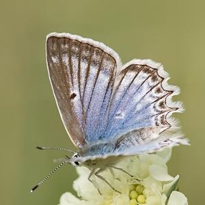 Modráčik hnedoškvrnný