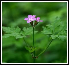 Ružová lúk a pasienkov