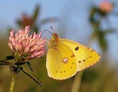Colias - Žltáčik