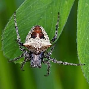 Pavúk samička