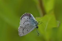 decoloratus