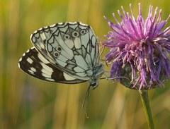 Motýľ a bodliak