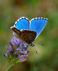 Blankyt modráčik