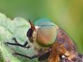 Hybomitra lundbecki
