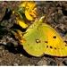 Tohoročný letný žltáčik