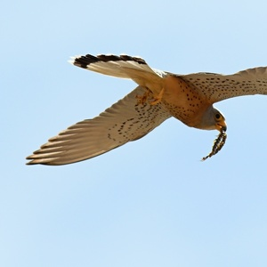 Falco naumanni