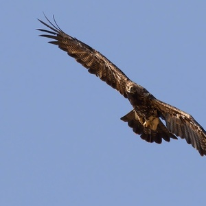 Aquila heliaca