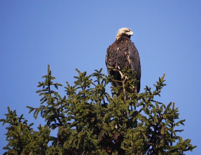 Orol kráľovský (Aquila heliaca)