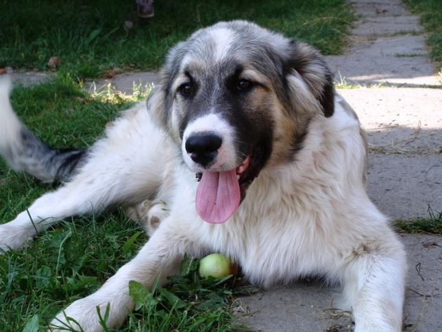 pes Dunčo