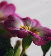 ...Kvetinková...