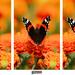 Minipríbeh motýlích krídel