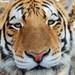 Tigrí kukuč