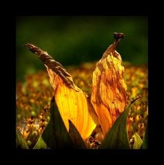 ) sunflower (