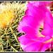 Kaktusova