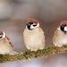 Vrabce
