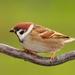 Vrabec poľný (Passer montanus)