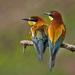 európsky papagáj  :-)