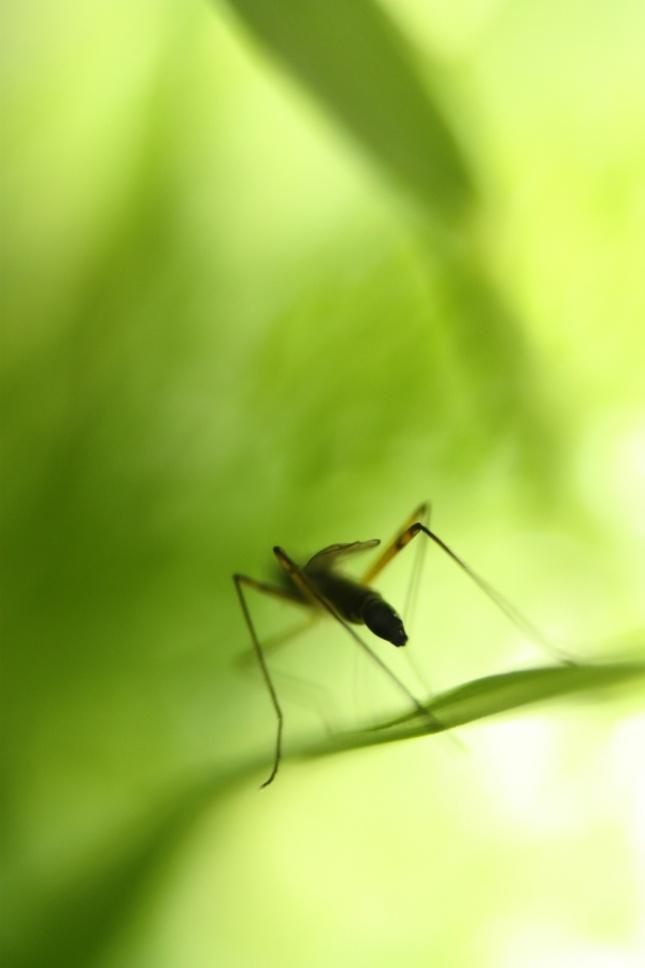 urazeny komar