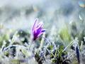 Keď kvitne a mrzne