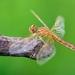 Mladá vážka červená