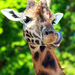 Žirafka