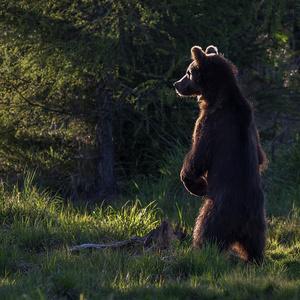 Západ slnka s medveďom
