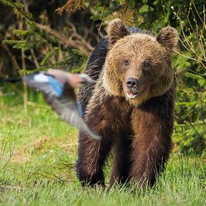 Medveď a sojka