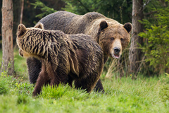 Medvedí tanec