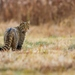 Felis silvestris / mačka divá