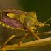 hmyzo