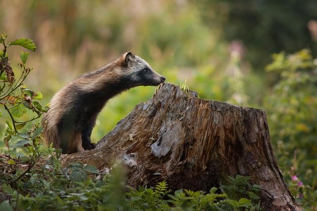 Psík medvedikovitý