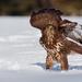 Buteo buteo / myšiak lesný