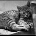 Zasnena cica