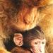 Opičia láska