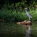 Volavka siva (Gray heron)