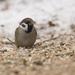 Vrabes poľný (Passer montanus)
