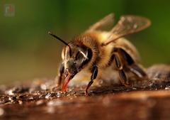 ...včela medonosná - apis mellif