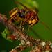 ...sršeň obyčajný - vespa crabro