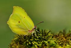 ...gonepteryx rhamni...