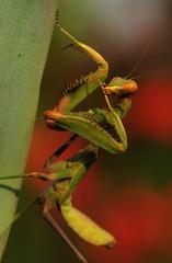 ...Sphodromantis sp. Cyprus...