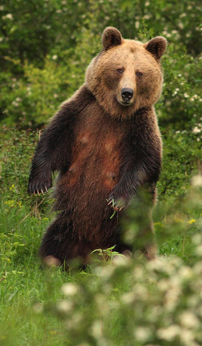 Medved hnedý  ( wild)