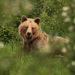 Medved hnedý II.