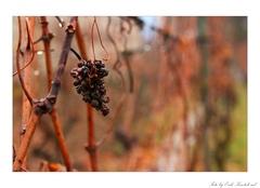 Jeseň vo vinohrade