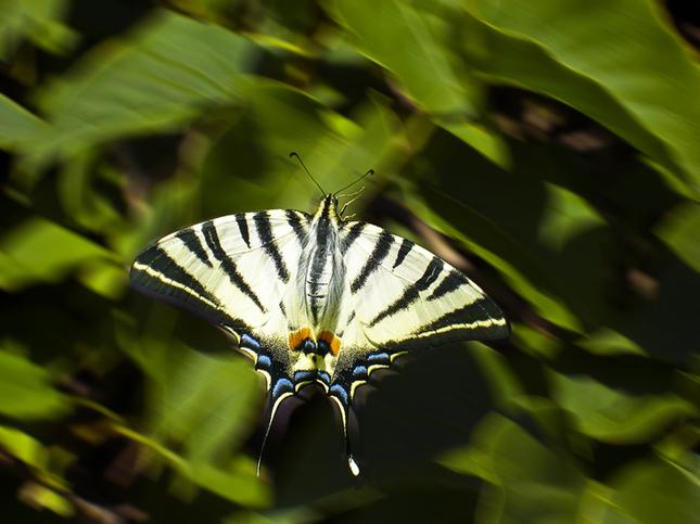 Motýľovanie