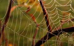 gorálková pavučina