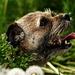 Púpavový pes